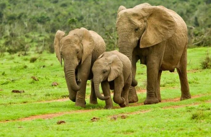 Por el tráfico de marfíl los elefantes han evolucionado para que sus colmillos no crezcan | EL FRENTE