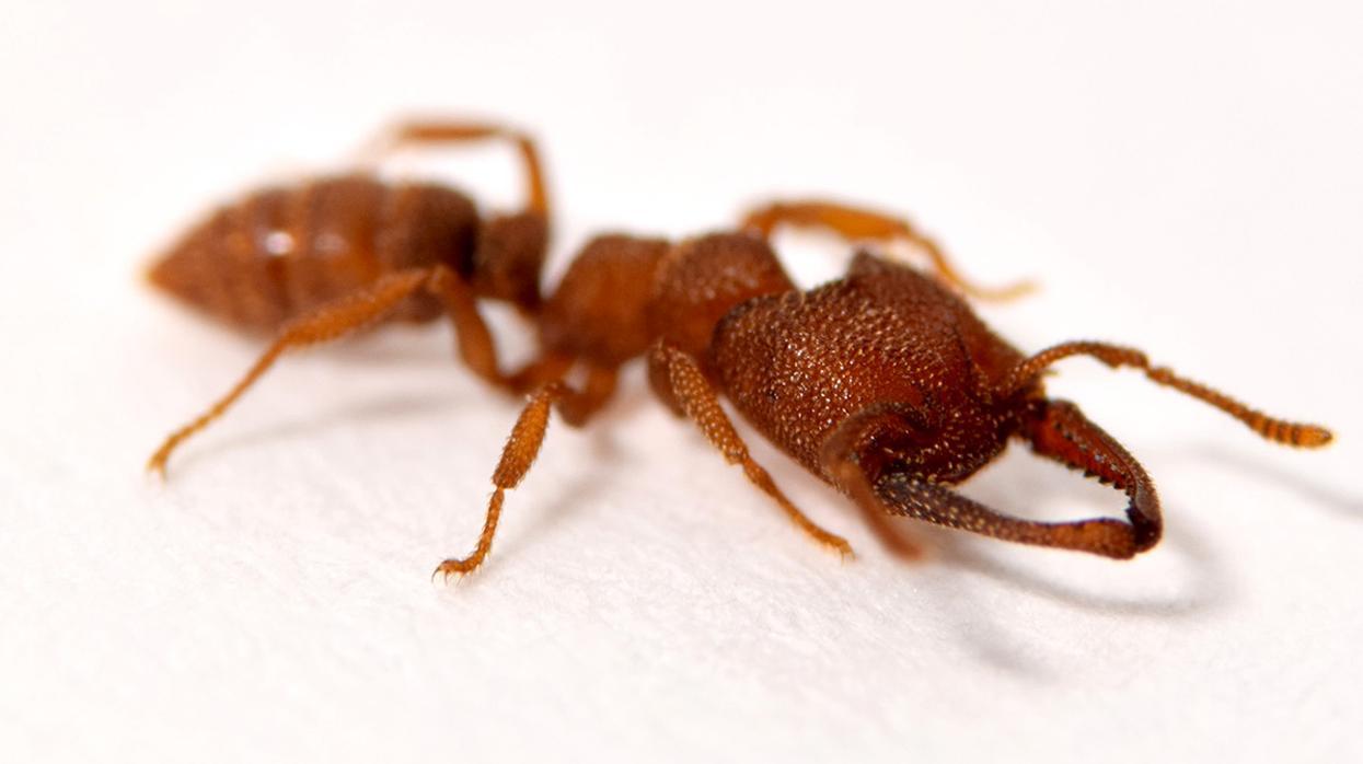 La hormiga drácula es el insecto que registra el movimiento de animales más rápido del planeta | EL FRENTE