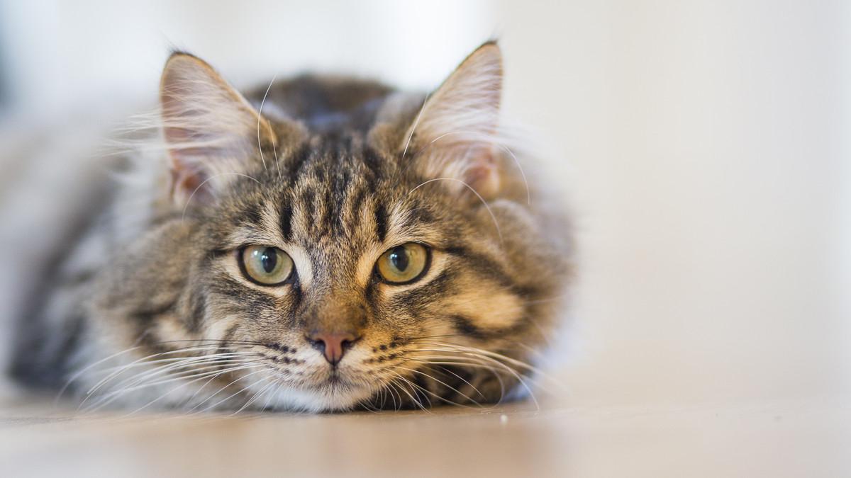 Cuidado con su gato: puede detornale esquizofrenia | EL FRENTE