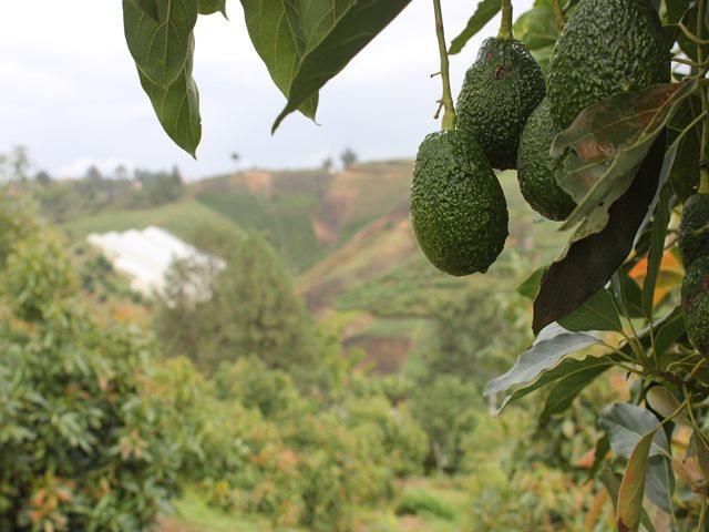 Afectaciones a cultivos de aguacate en Santander. ICA al frente de la atención de la emergencia | EL FRENTE