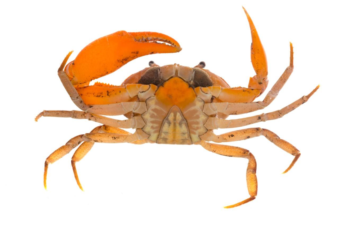 Expedición descubre especies nuevas. Serranía de Los Yariguíes tiene nuevo cangrejo de agua dulce | EL FRENTE