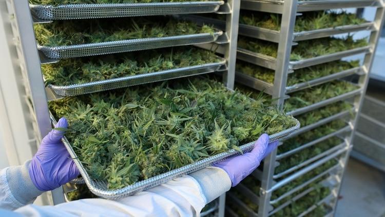Colombia exportará cannabis medicinal | EL FRENTE