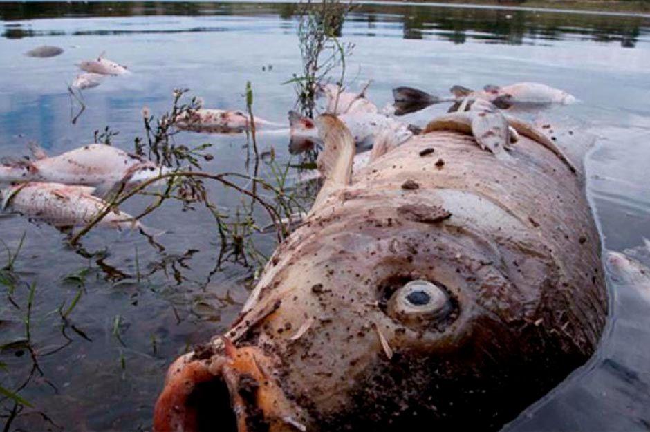 EPM reporta muerte de 40.000 peces por sequía en el río Cauca | EL FRENTE