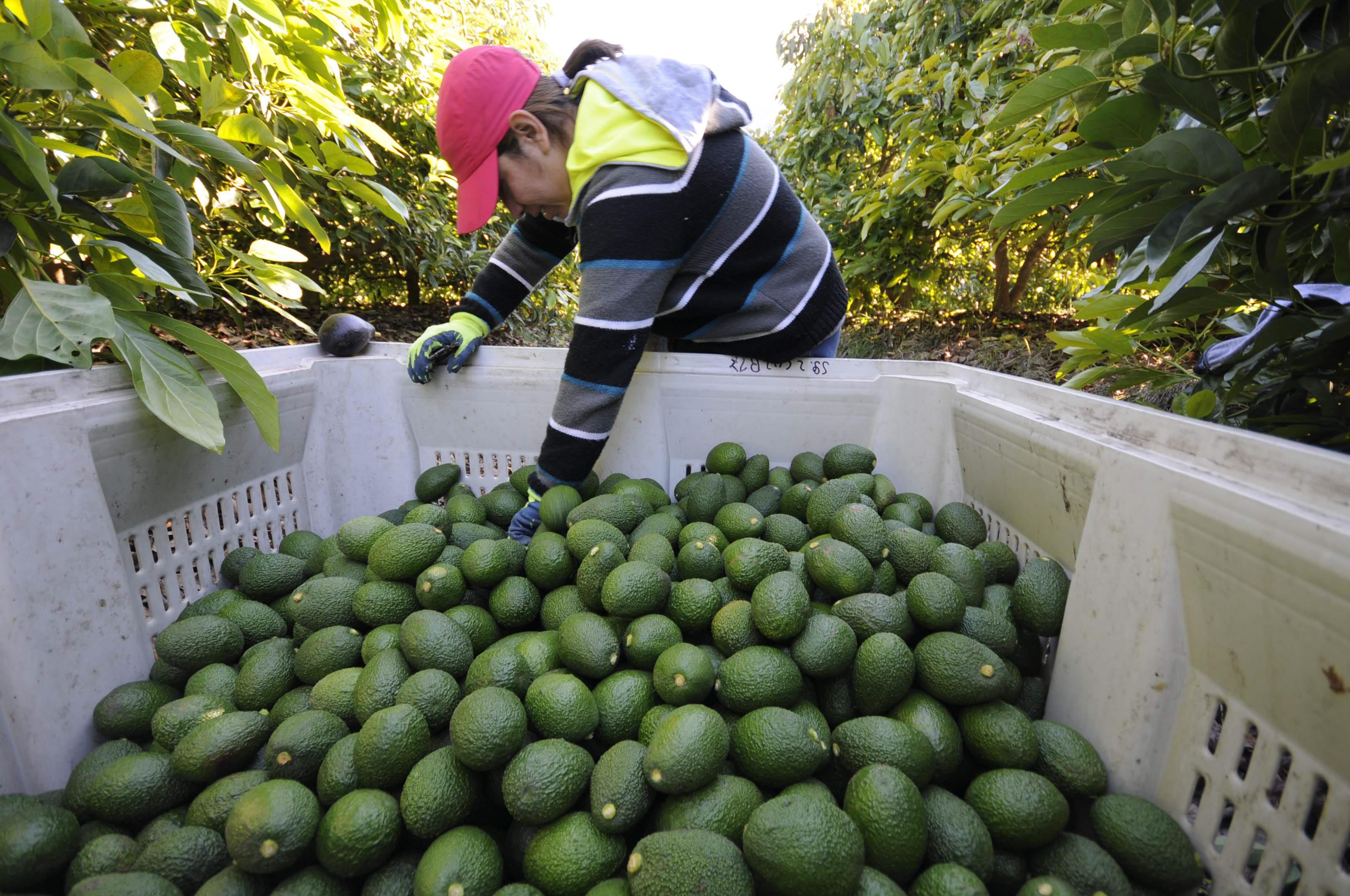 Reunión del MinAgricultura con cadenas agrícolas. Se ordenará la producción de aguacate | EL FRENTE