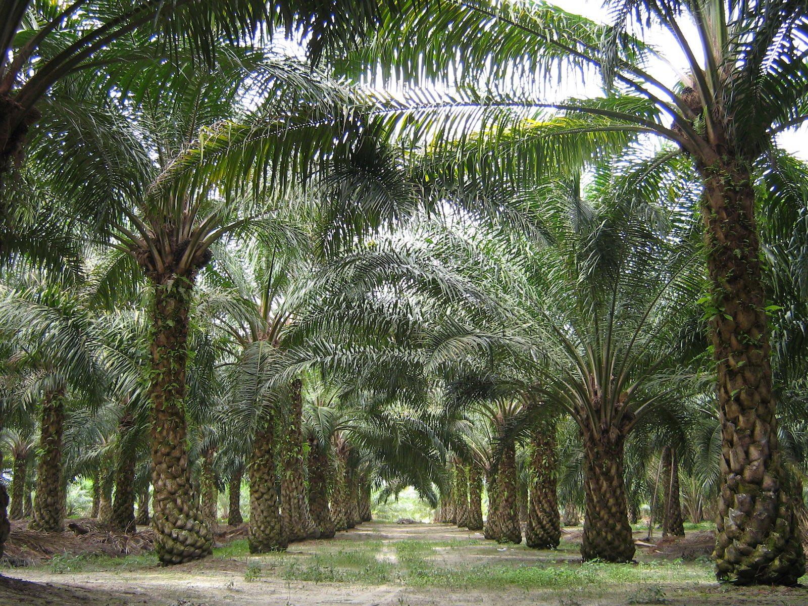 Desde Bucaramanga se buscan nuevos destinos. Mercados mundiales para palma de aceite   EL FRENTE