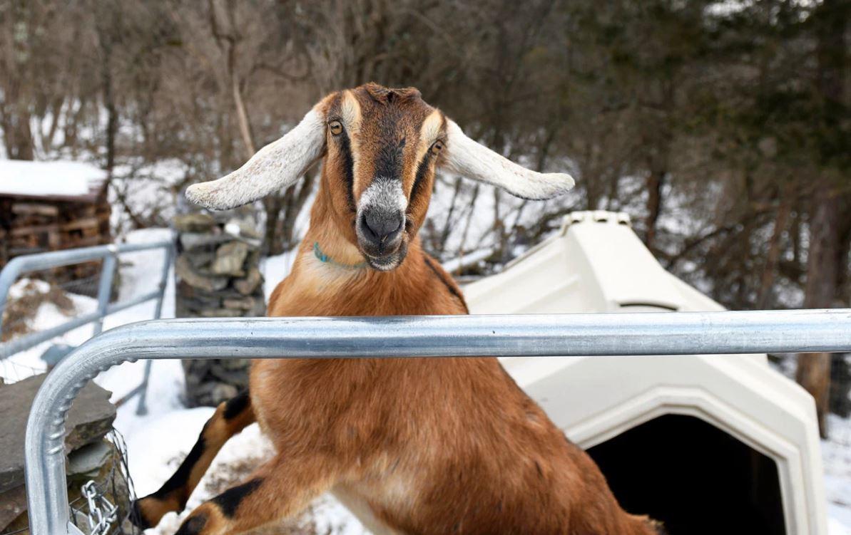 La ciudad que eligió una cabra como alcaldesa | EL FRENTE
