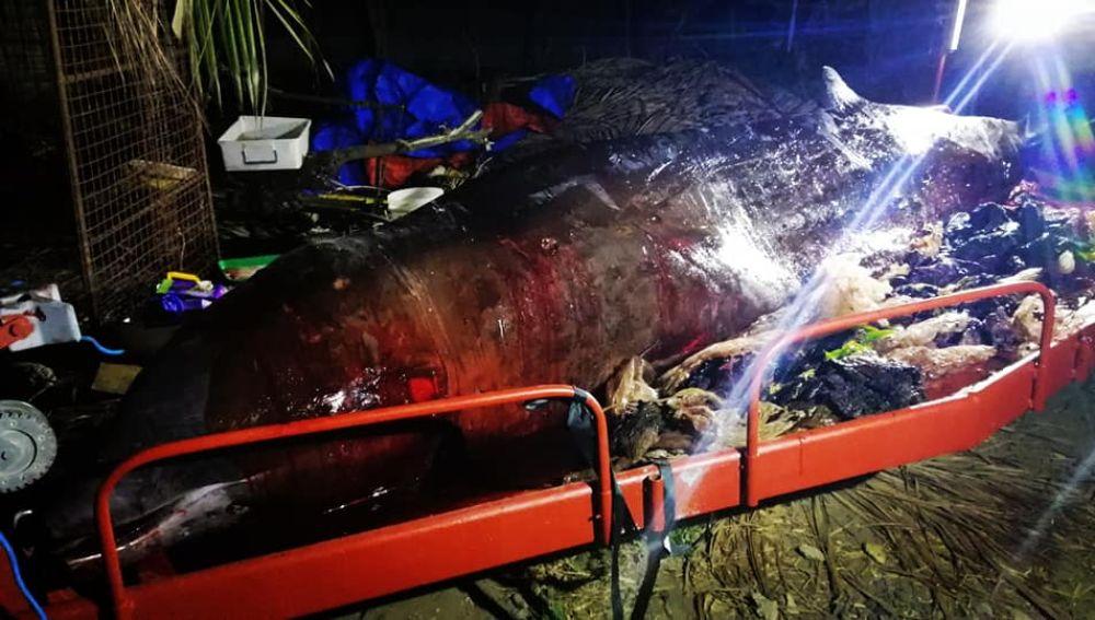 Ballena murió al no poder comer debido a que contenía 40 kilos de plástico en el estómago | EL FRENTE