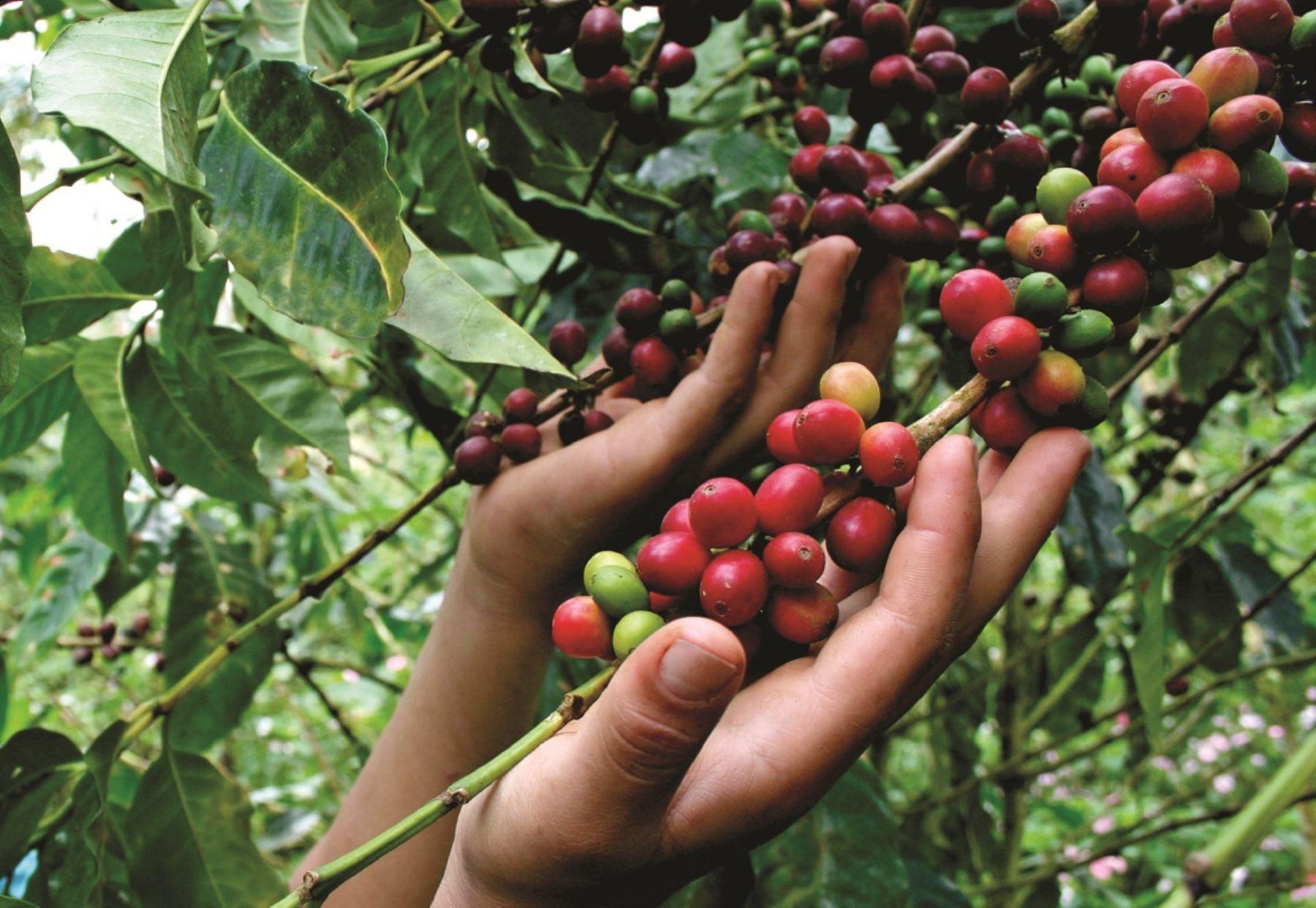 La suma llega a 255.000 millones de pesos. Autorizan $100.000 millones para apoyo a cafeteros | EL FRENTE