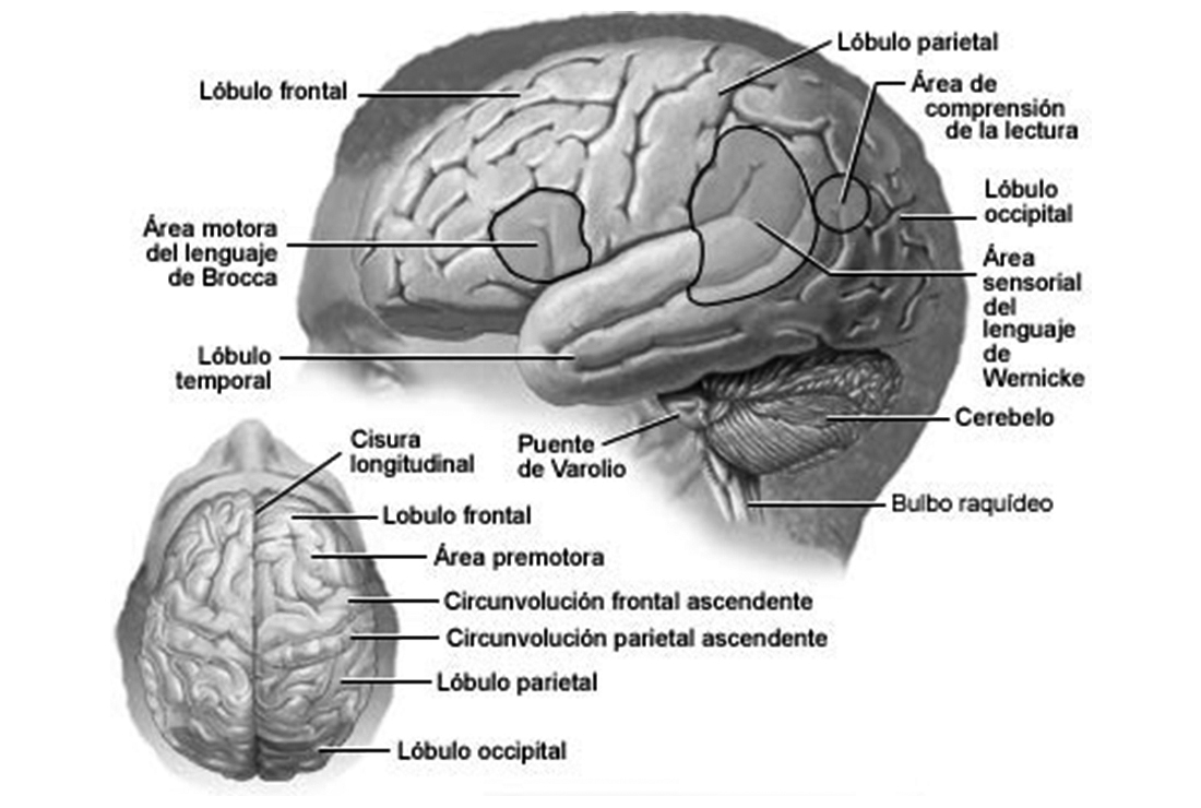 Un aprendizaje basado en el funcionamiento del cerebro humano  Por: Mg. Jaime Zafra Bueno * | EL FRENTE