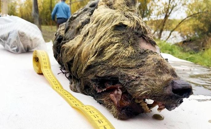 Sorprendente hallazgo. Cabeza gigante de un lobo fue encontrada en Siberia   Entretenimiento   Variedades   EL FRENTE