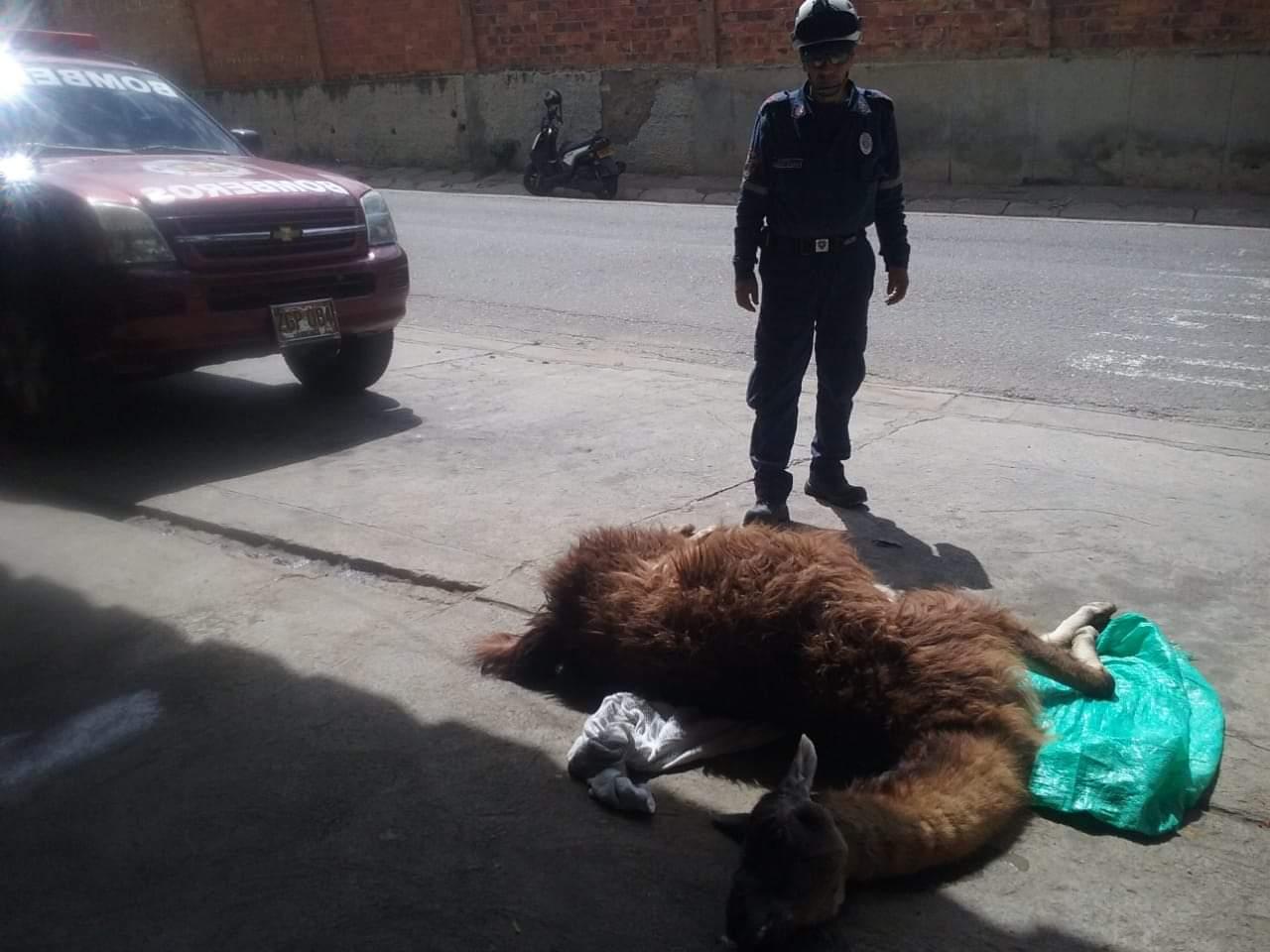 Falleció llama que había sido rescatada en San Gil | EL FRENTE