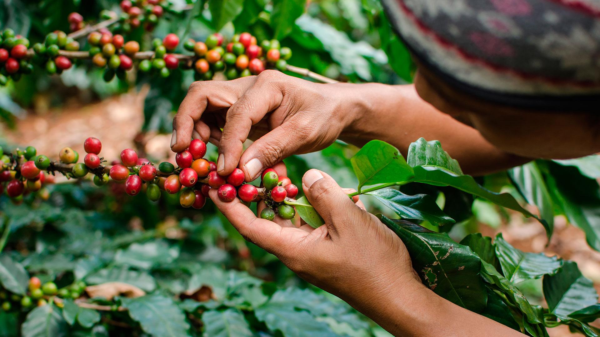 El grano se empacó en 1,2 millones de sacos. Producción cafetera creció 11,4% en junio | EL FRENTE