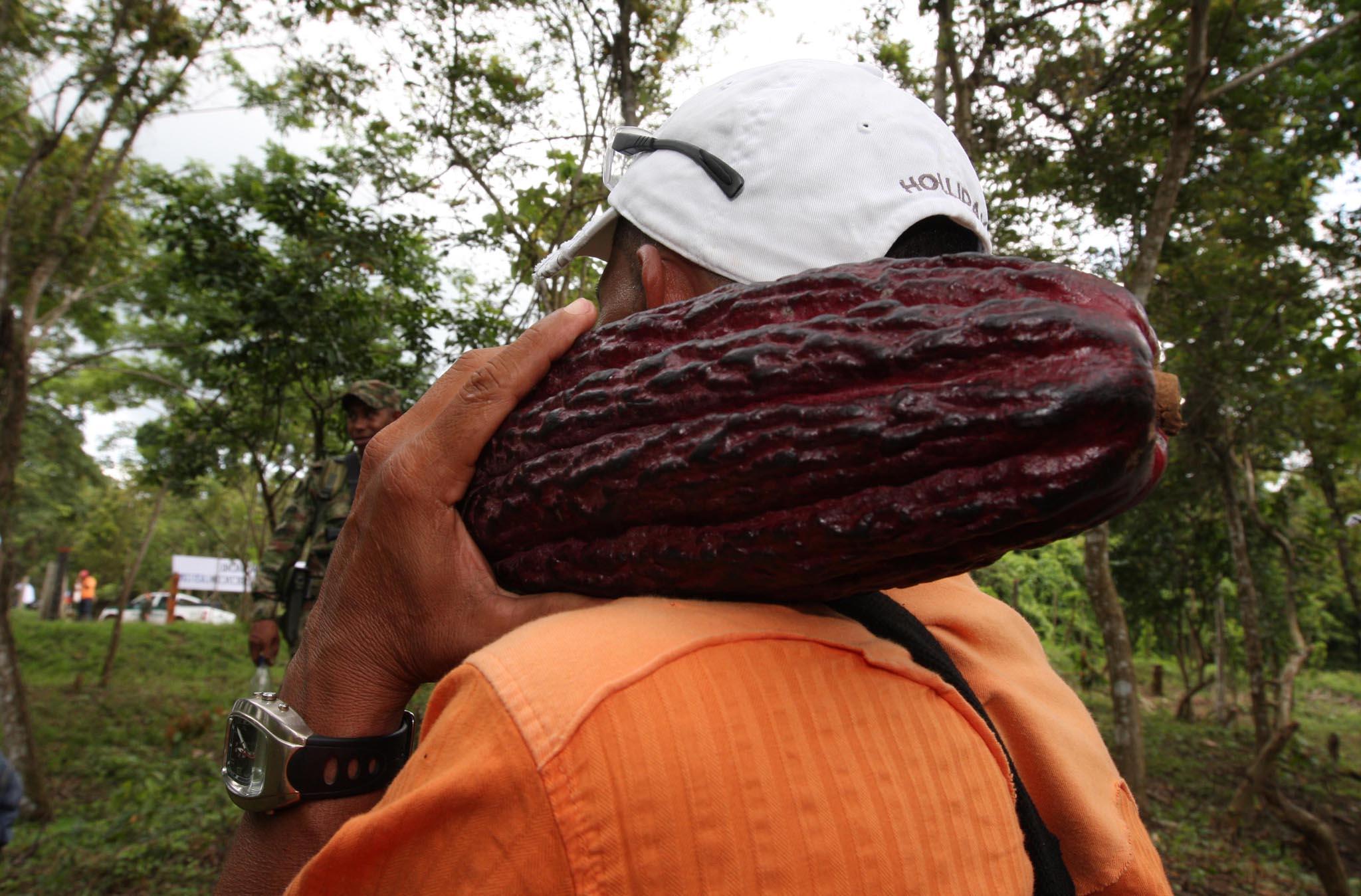 Santander incentiva materia prima de exportación. Concurso Cacao de Oro mejora producción regional  | EL FRENTE