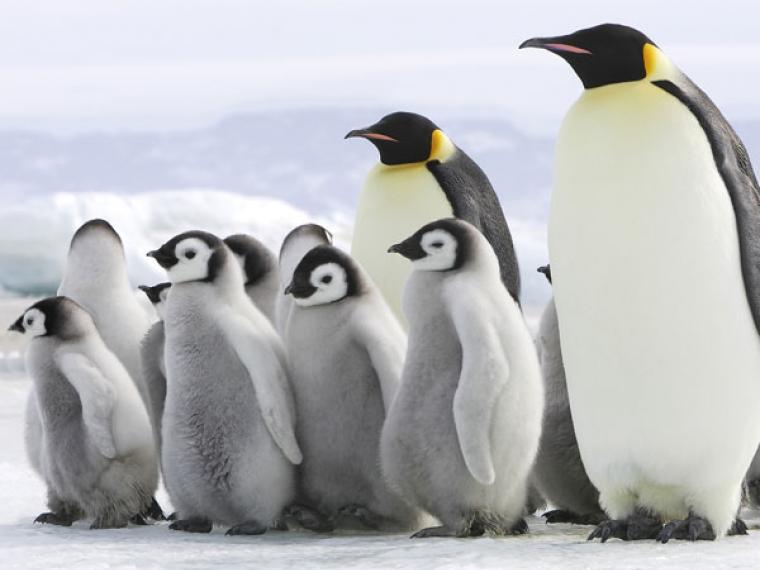 Pingüino emperador podría extinguirse | EL FRENTE