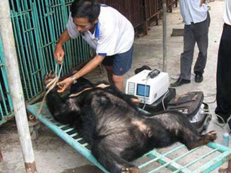 China autoriza medicamento con bilis de oso | Noticias | Mundo | EL FRENTE