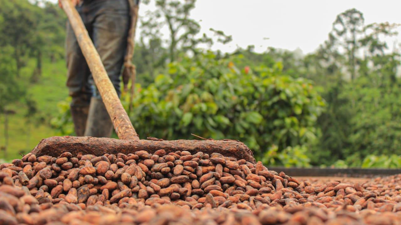 Producción de cacao en Colombia llegó a las 34.889 toneladas en el primer semestre del 2020   Nacional   Economía   EL FRENTE