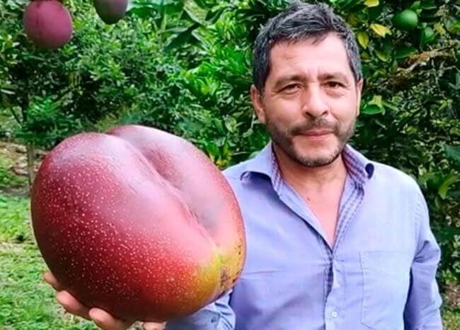 En Boyacá está el mango más grande del mundo | EL FRENTE