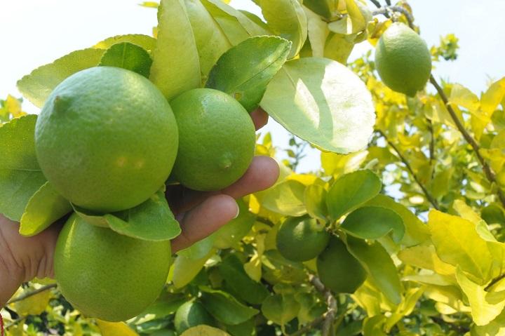 Los frutos de la tierra buscan exportación. El limón criollo quiere darle la vuelta al mundo | EL FRENTE