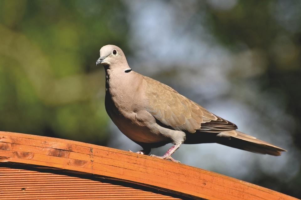 Australia le perdonó la vida a la paloma Joe   EL FRENTE
