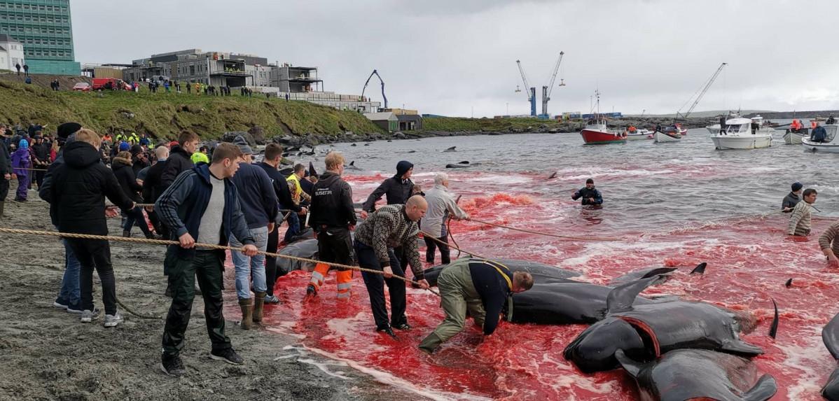 Terrible matanza de 1.400 delfines en Islas Feroe | EL FRENTE