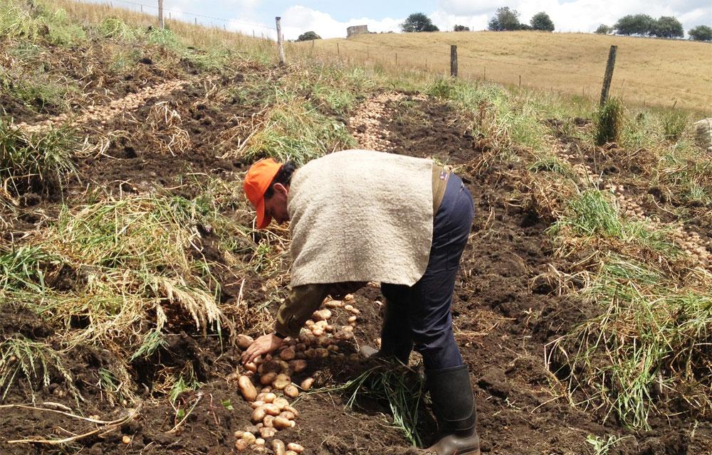 Estrategia de agricultura por contrato. Coseche y venda a la fija  | Nacional | Economía | EL FRENTE