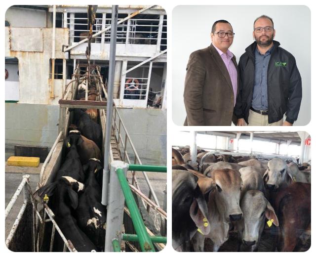 8.250 bovinos en pie serán exportados. Mercados de Irak y el Líbano para la ganadería colombiana | Nacional | Economía | EL FRENTE