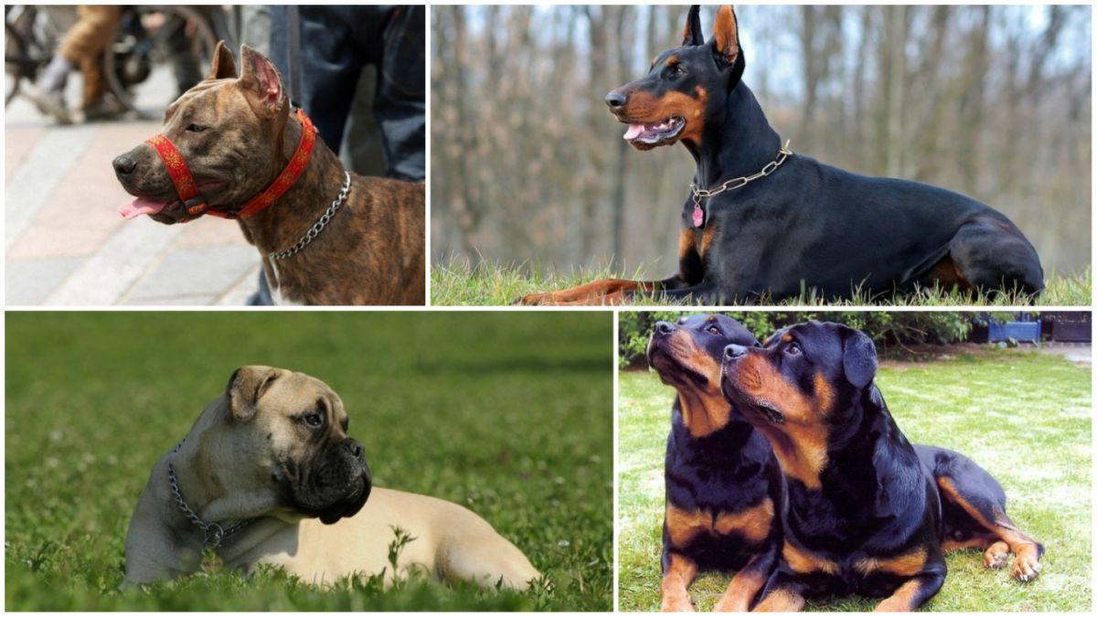 Razas de perros mascota potencialmente peligrosas. Censo de caninos es obligatorio | EL FRENTE