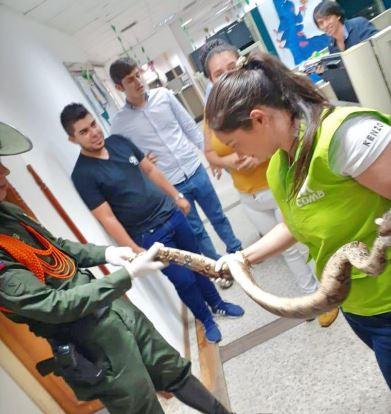 Encuentran boa en un local comercial de Cabecera en Bucaramanga | Metro | EL FRENTE