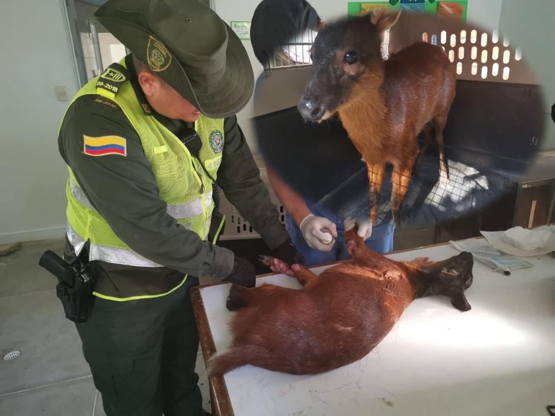 Autoridades hallaron a un venado herido en Piedecuesta   Piedecuesta   Metro   EL FRENTE